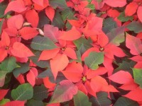 euphorbia pulcherrima red texture (own) (1)