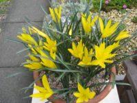 sizedcopy-of-sternbergia-lutea-angestina9112